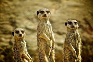 Three Meerkats standing