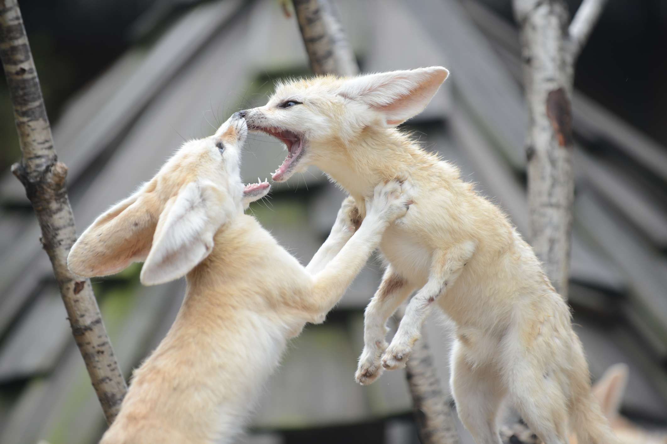 Fennec foxes playing
