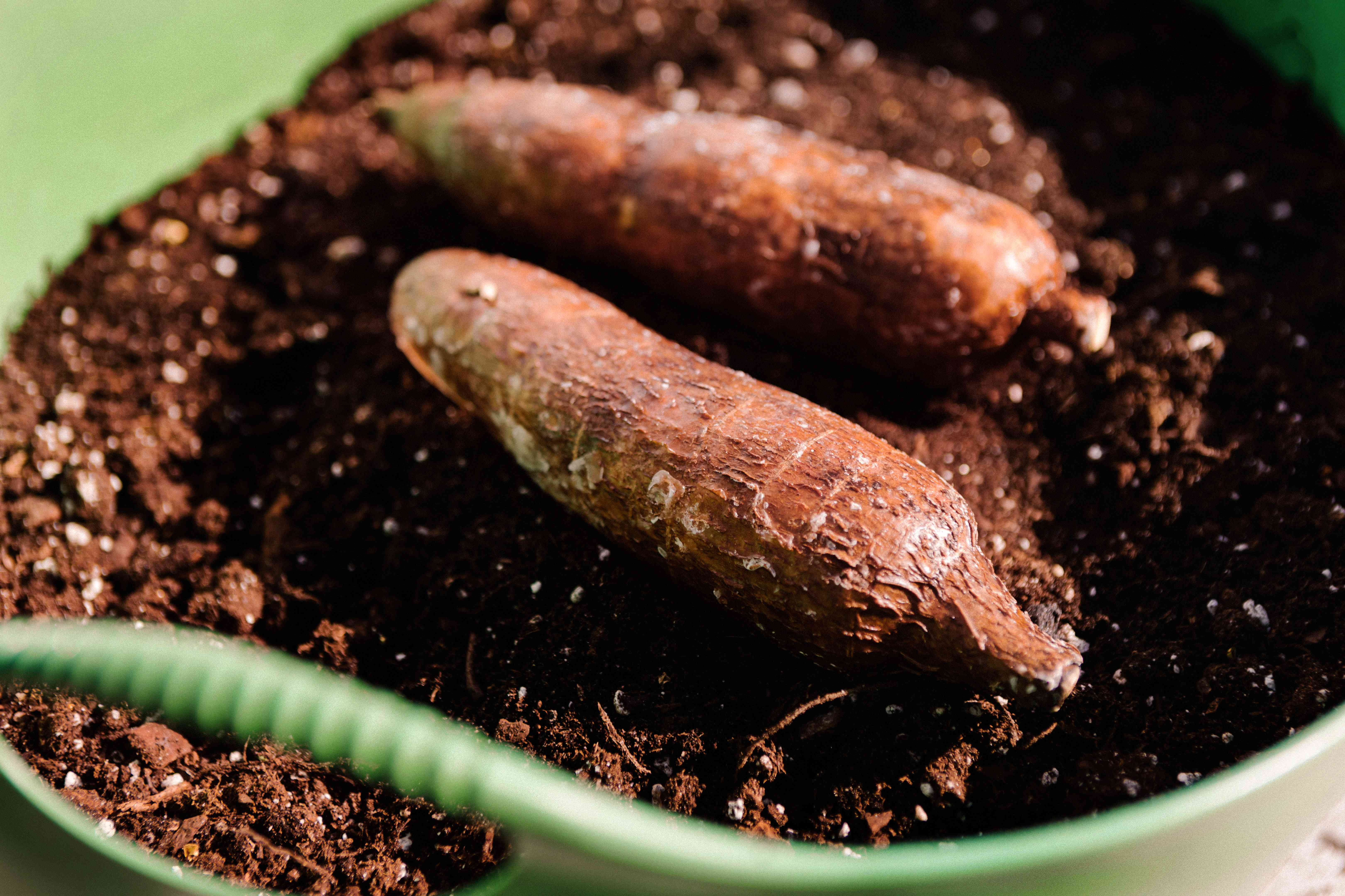 two brown cassava starchy vegetables in bucket full of soil
