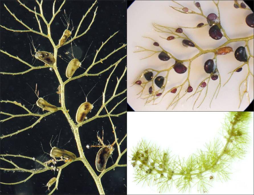 Carnivorous plants: Bladderwort