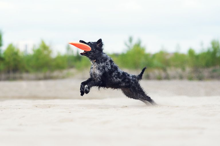 mudi dog leaps from sand to catch orange frisbee in mouth