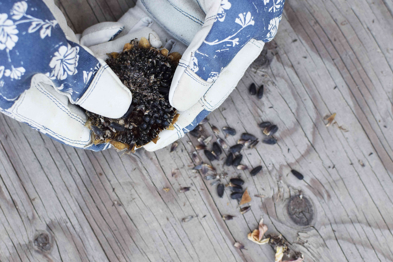 hands wearing gardening gloves scrape out sunflower seeds from fresh flower