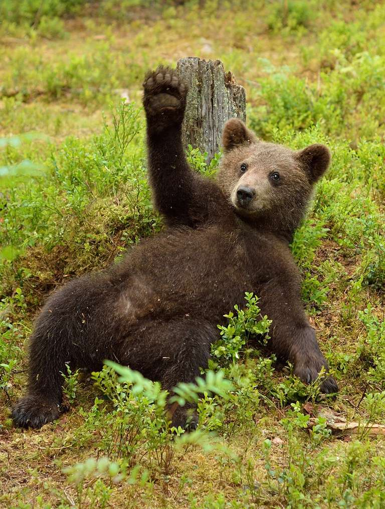 Bear leans back in a grassy area