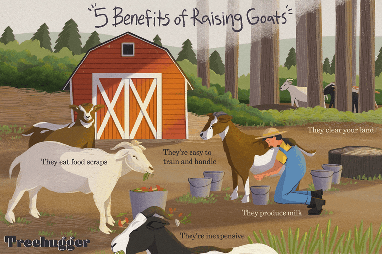 5 benefits of raising goats