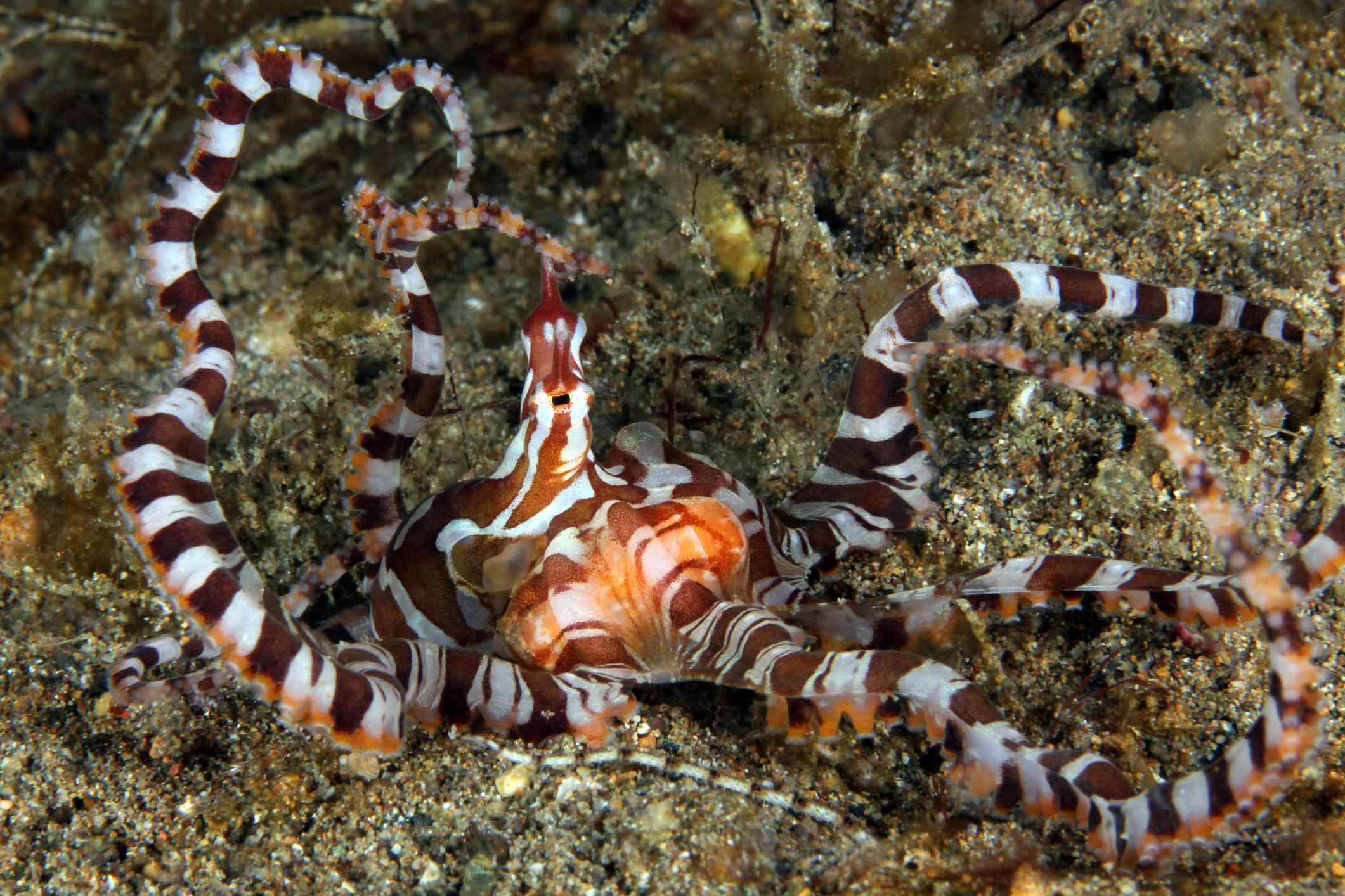brown and white wonderpus octopus resting on a sandy ocean floor