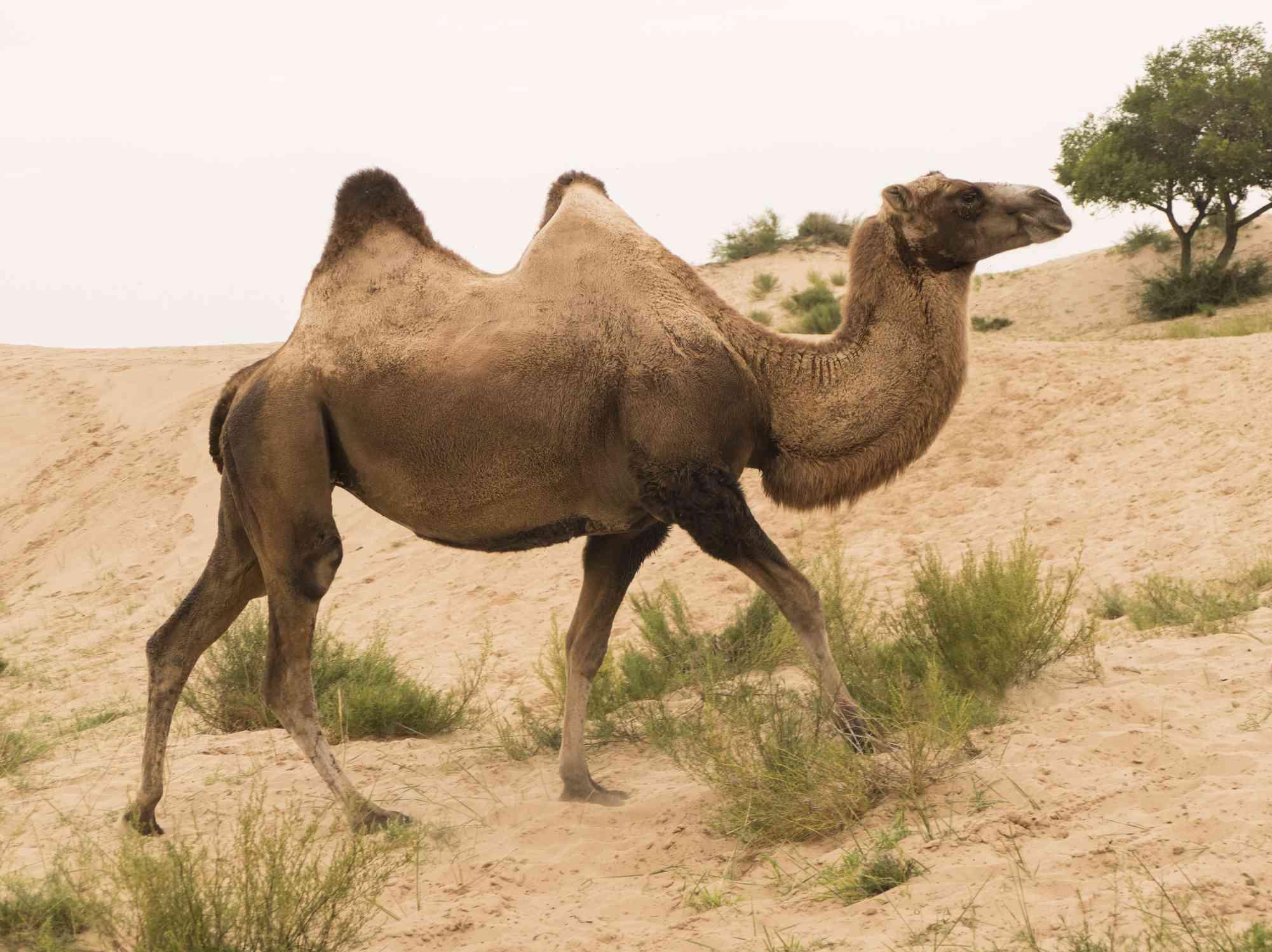 Wild Bactrian camel walking in the desert