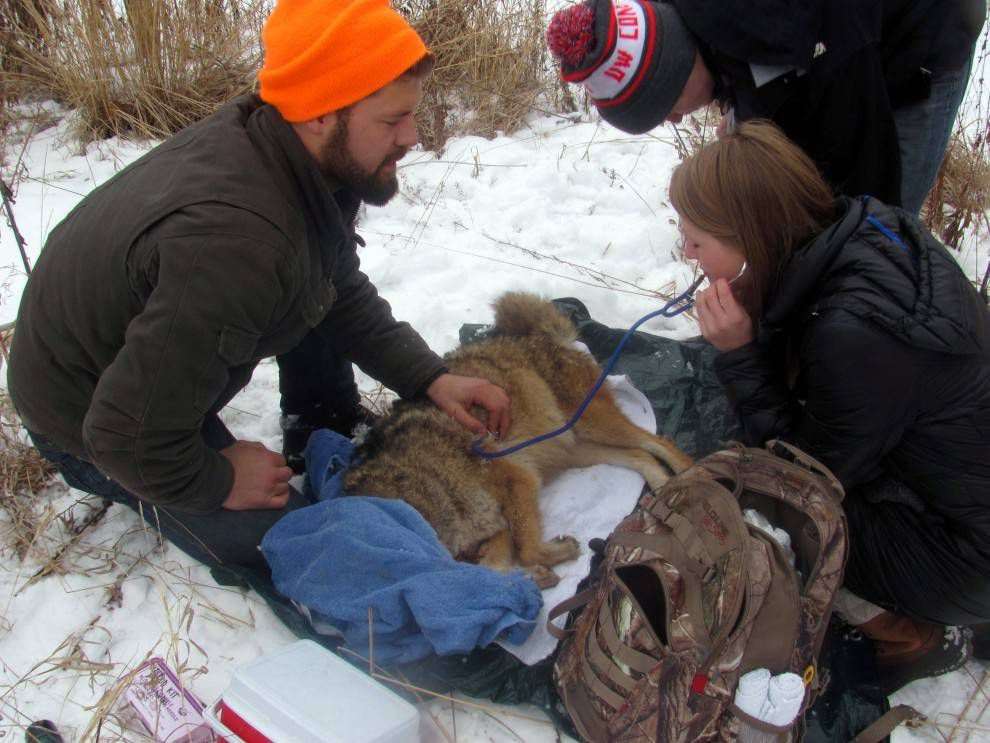 collaring a coyote