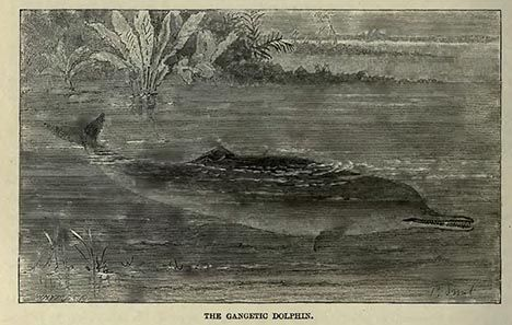 ganges river dolphin image