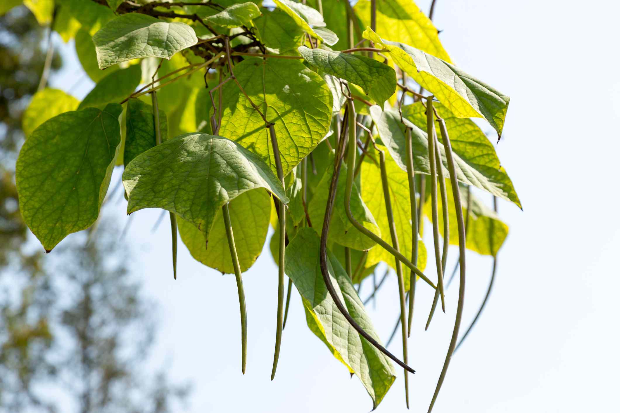Northern catalpa tree bean pods