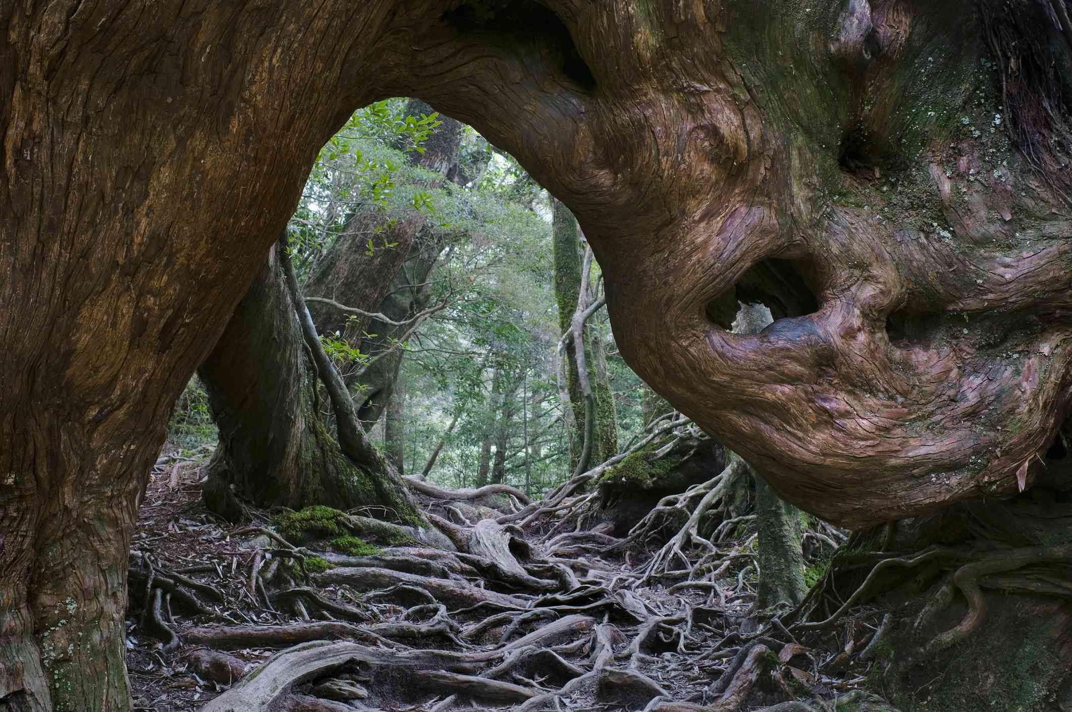 forest floor covered by winding tree roots