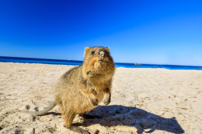 Quokka on the beach in Australia