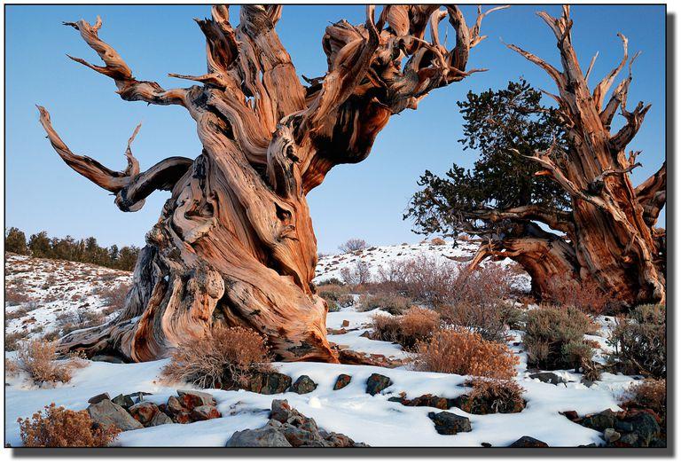 ¿Los árboles más antiguos de la Tierra están perdiendo la carrera en un clima cálido?