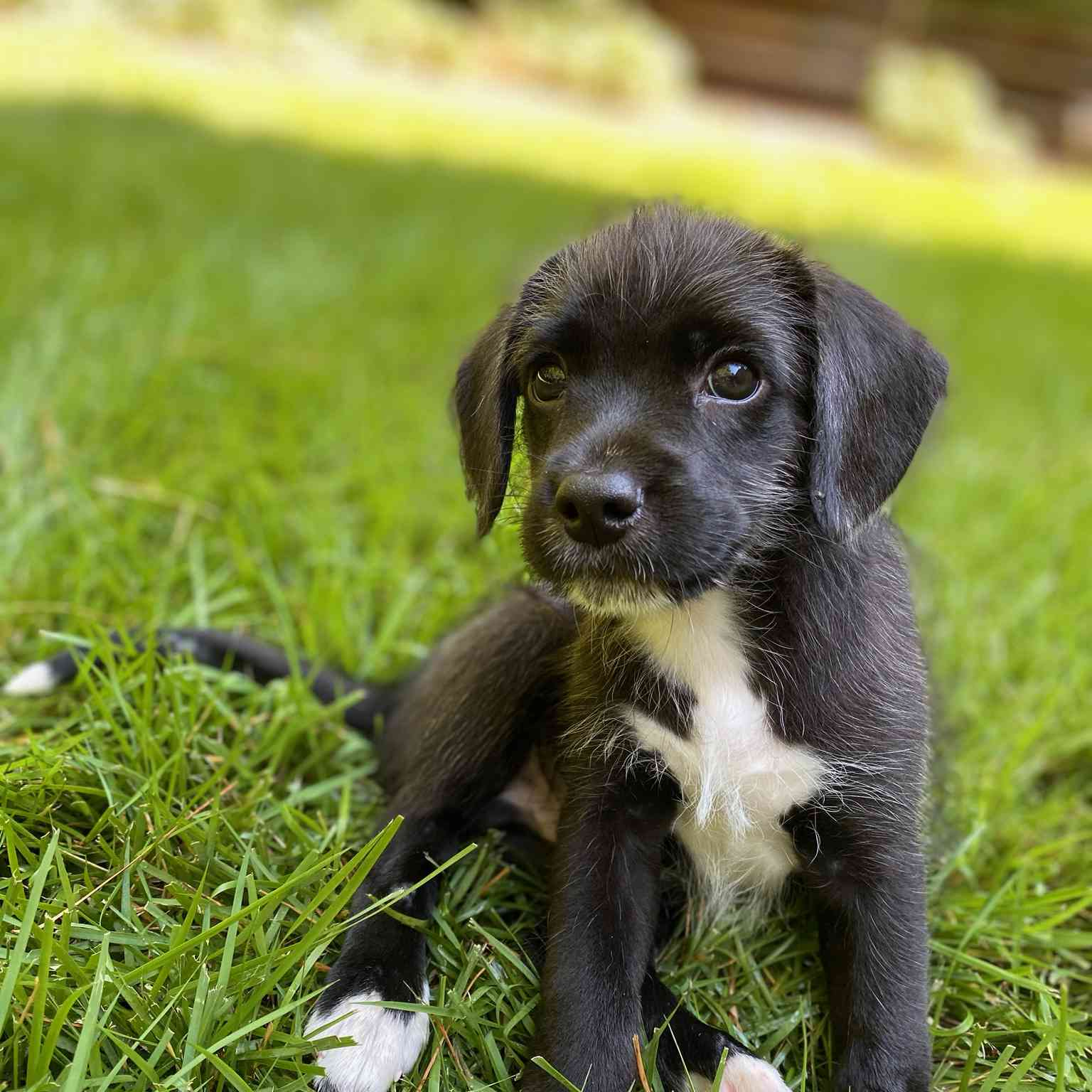 foster puppy Sheldon