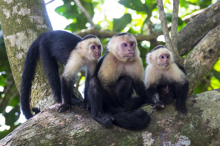 Capuchin monkeys in a tree looking intensely at something off camera.