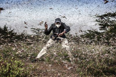 locust invasion