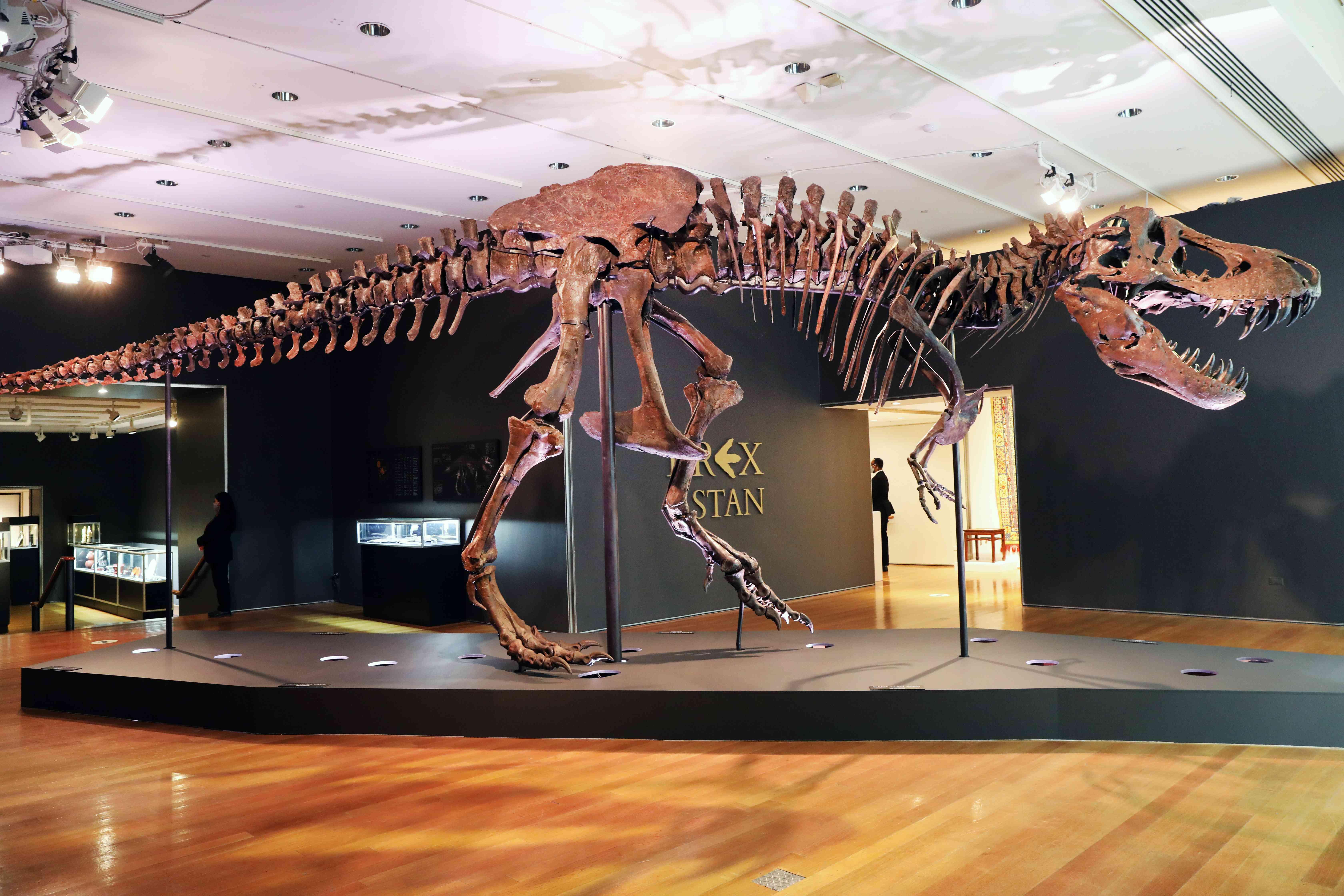 large fossil of T rex dinosaur
