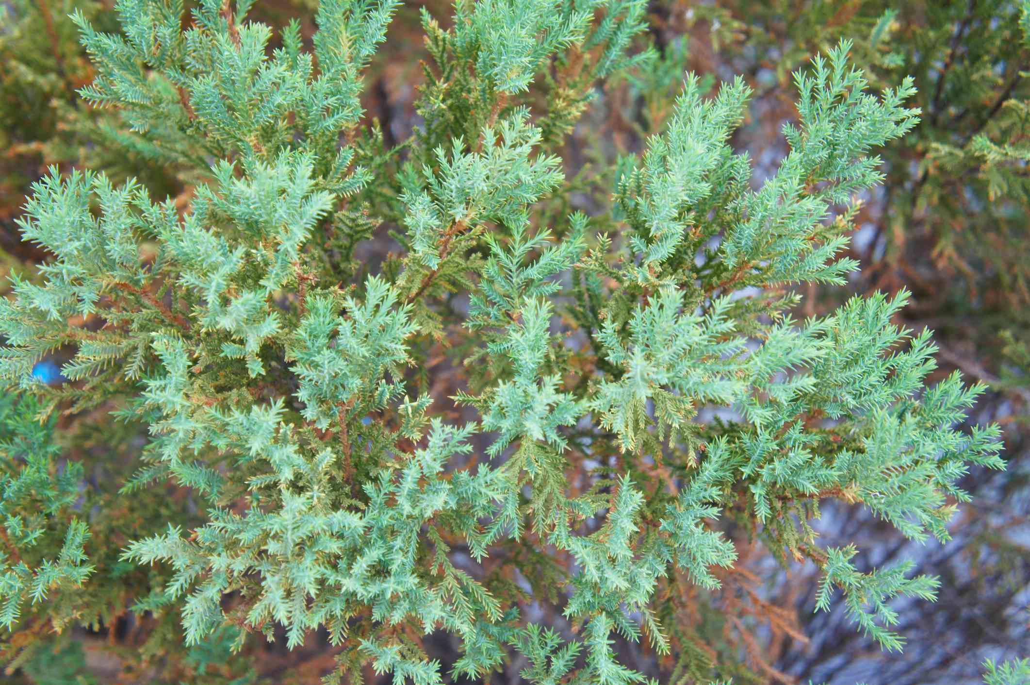 Juniperus squamata or flaky juniper blue star green plant