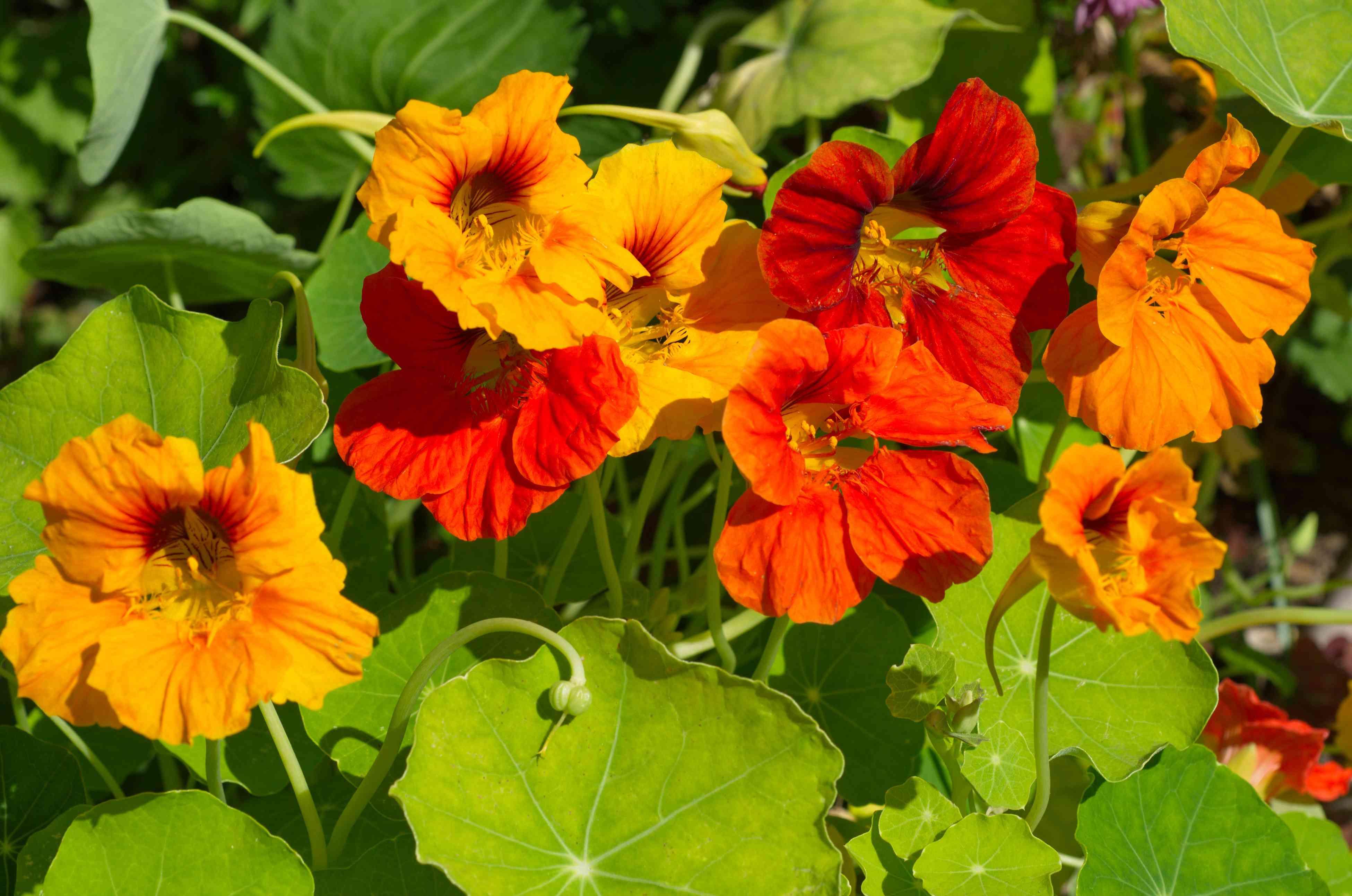 Nasturtium flowers blooms on the flowerbed