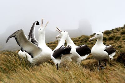 five white albatross with heads raised in mating dance