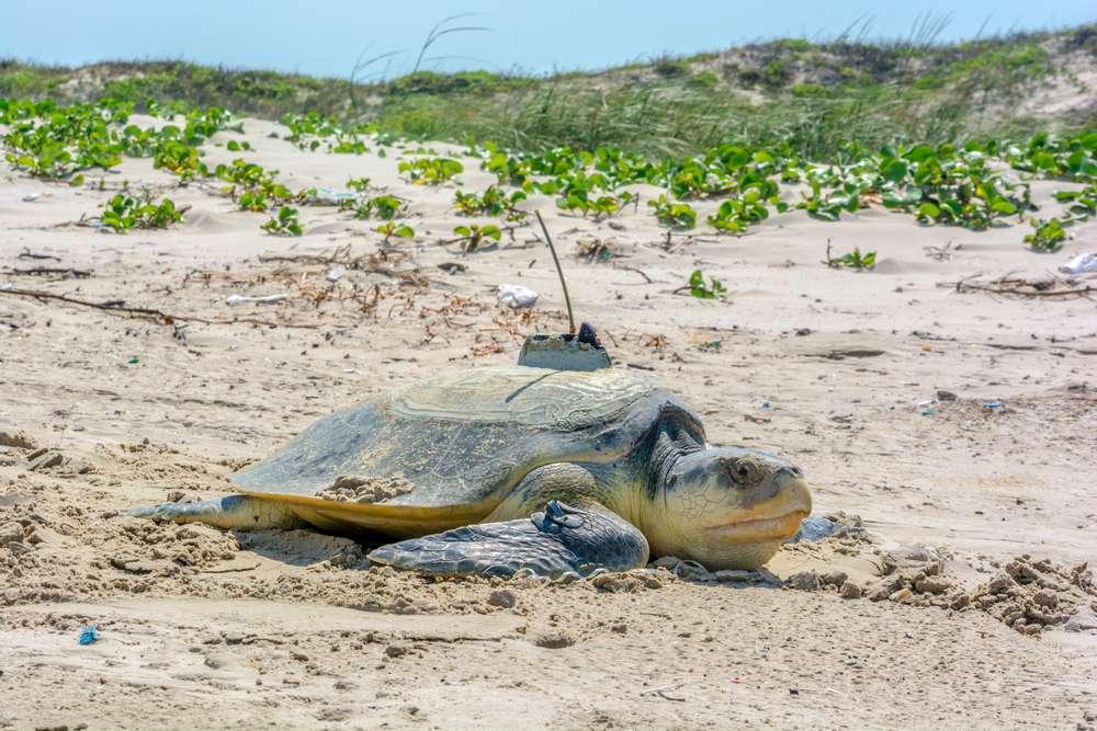 Kemp's Ridley sea turtle, Padre Island