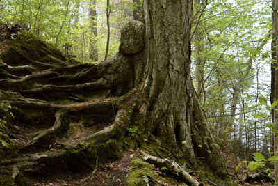close shot of majestic tree trunk in forest