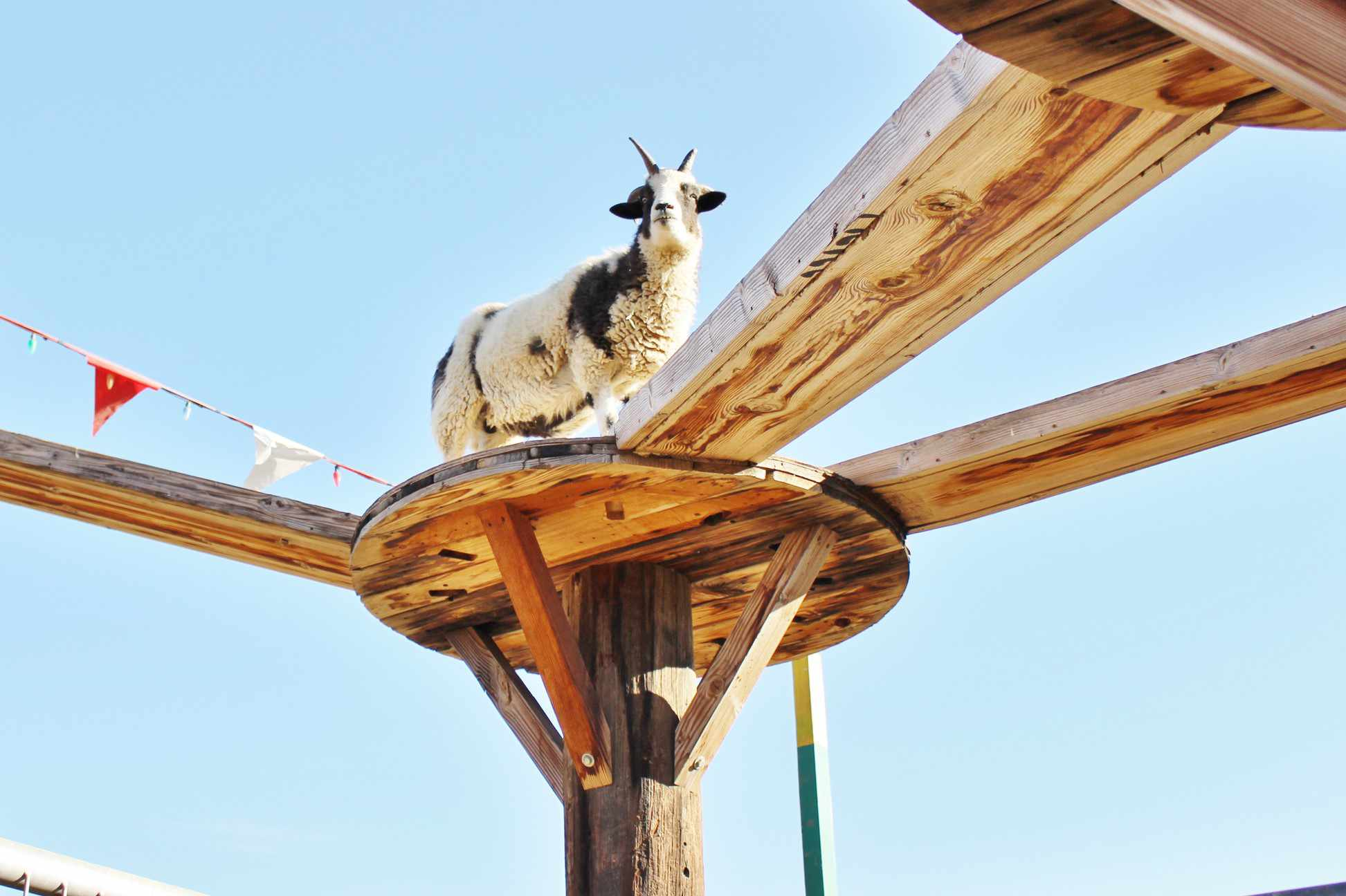 Goat on top of a wooden walking beam structure