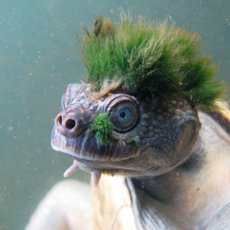 La tortuga de pelo punk 'respirando a tope' ahora está oficialmente en peligro de extinción (video)