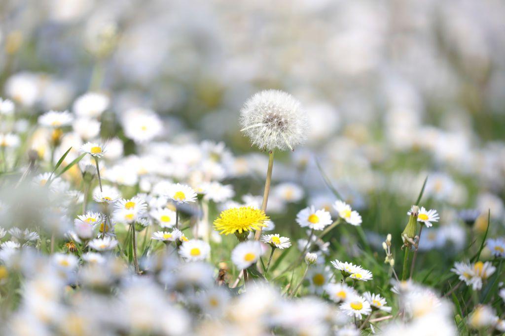 Dandelions in various stages of bloom.