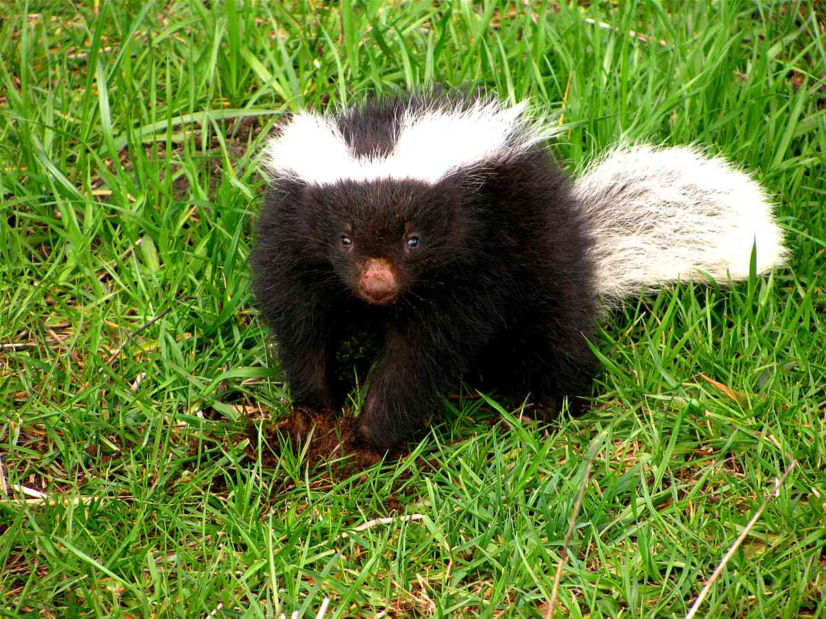 Molina's hog-nosed skunk standing in the grass