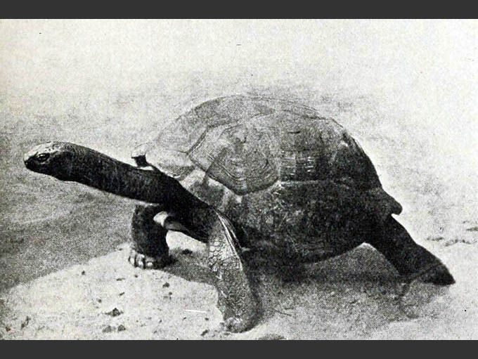 A Seychelles giant tortoise standing with its head extended