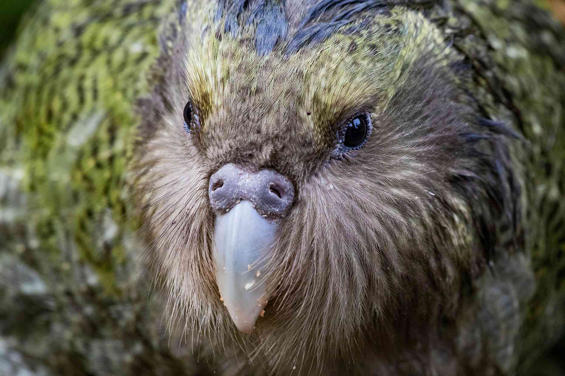 A close up shot of a juvenile Kakapo on Anchor Island.
