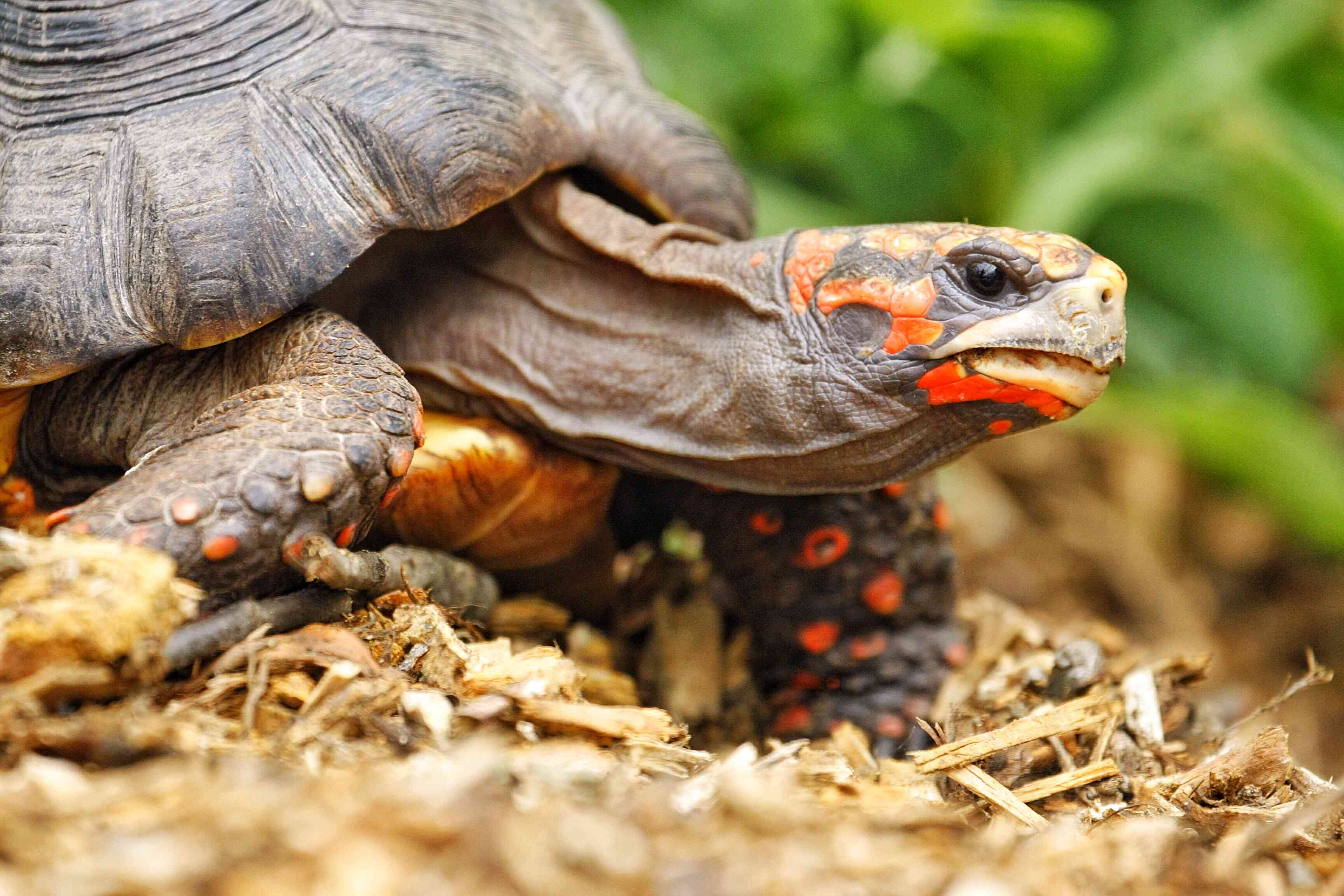 Close up of a red-footed tortoise looking at the camera