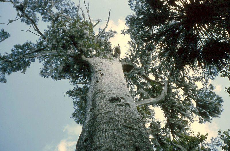 the senator cypress tree photo