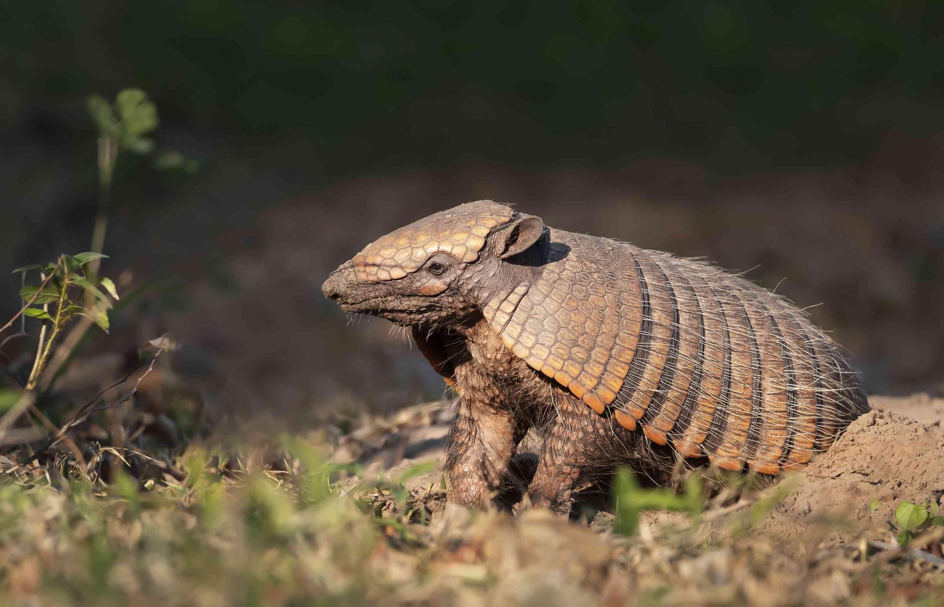 Close up of a Six-banded armadillo (Euphractus sexcinctus) standing next to its burrow, South Pantanal, Brazil