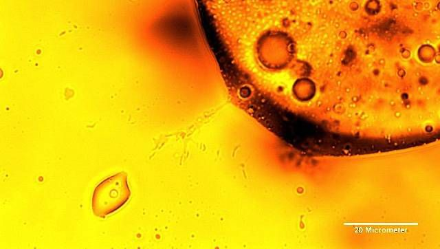 oil-eating microbes