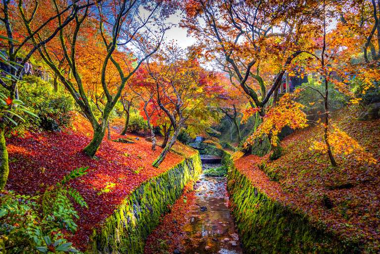 Bright orange maple trees on both sides of a canal with stone walls covered in green moss and the ground underneath covered in fallen orange and red leaves in Kyoto