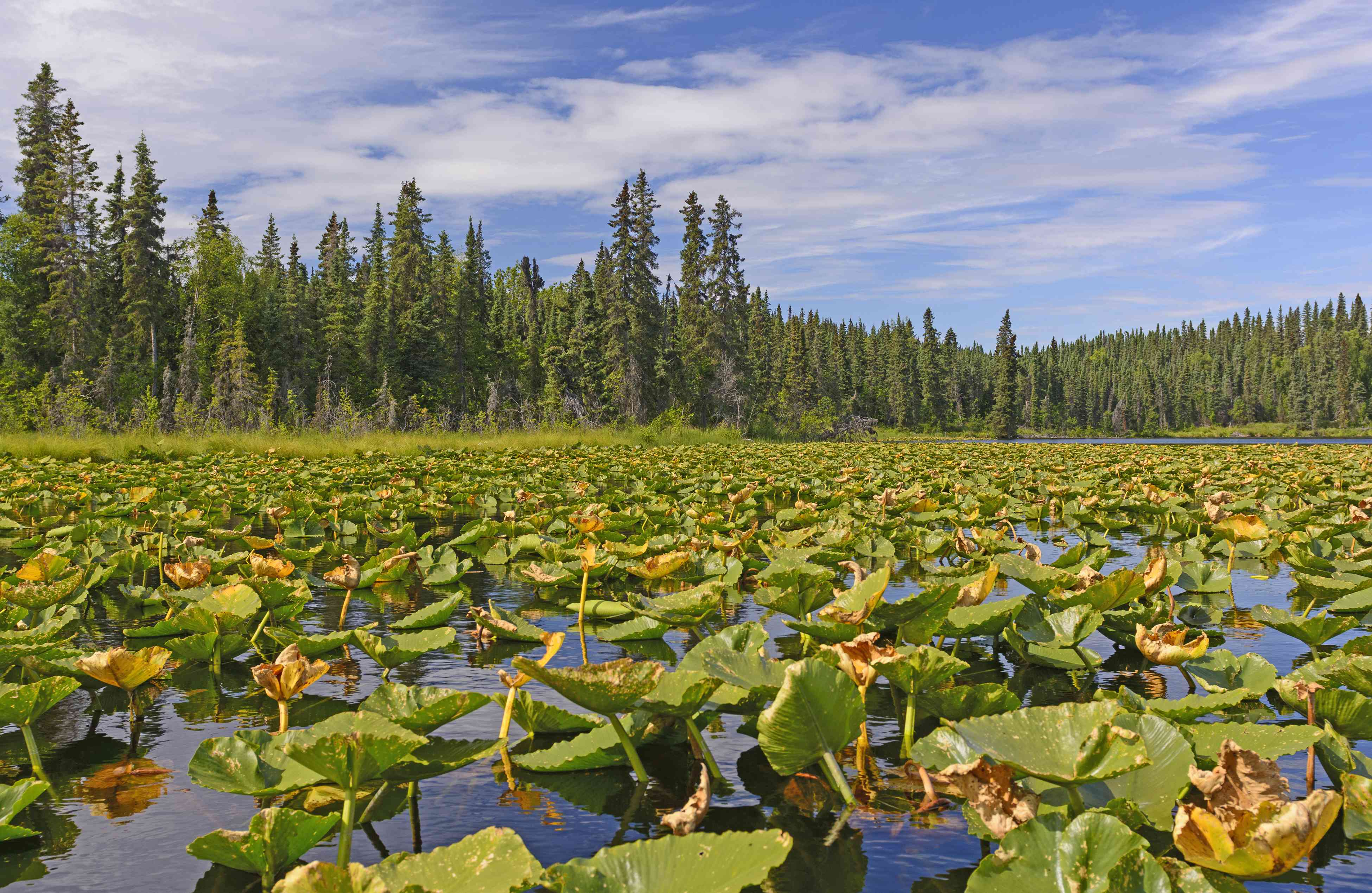 green water lilies on a lake with fir trees in the distance at Kenai Wildlife Refuge