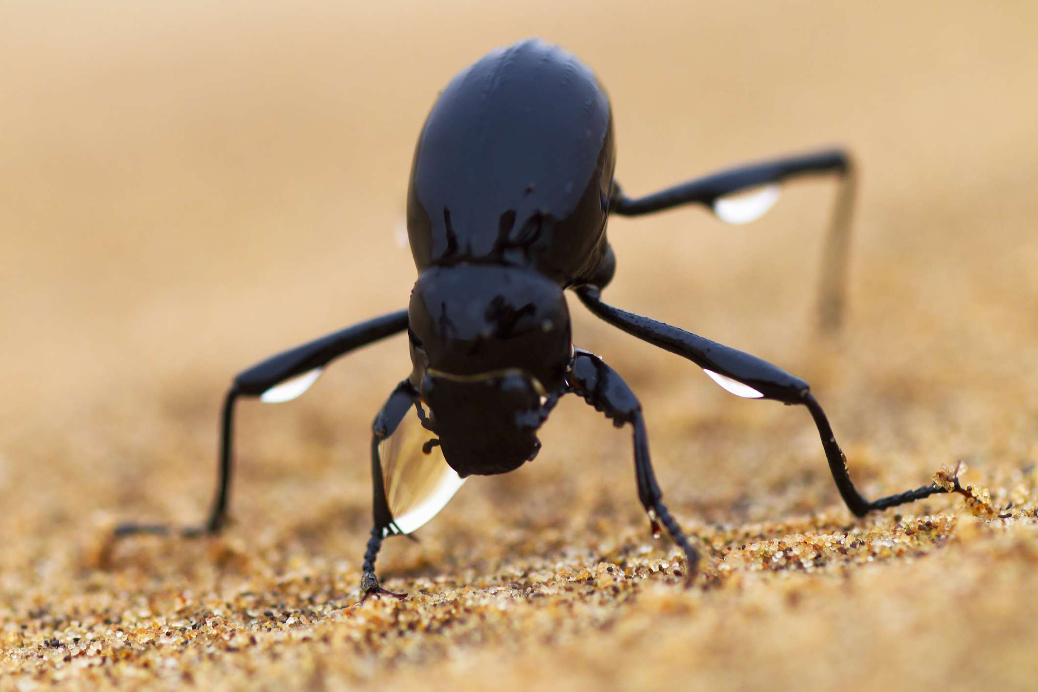 Namib desert beetle with water droplets on its legs