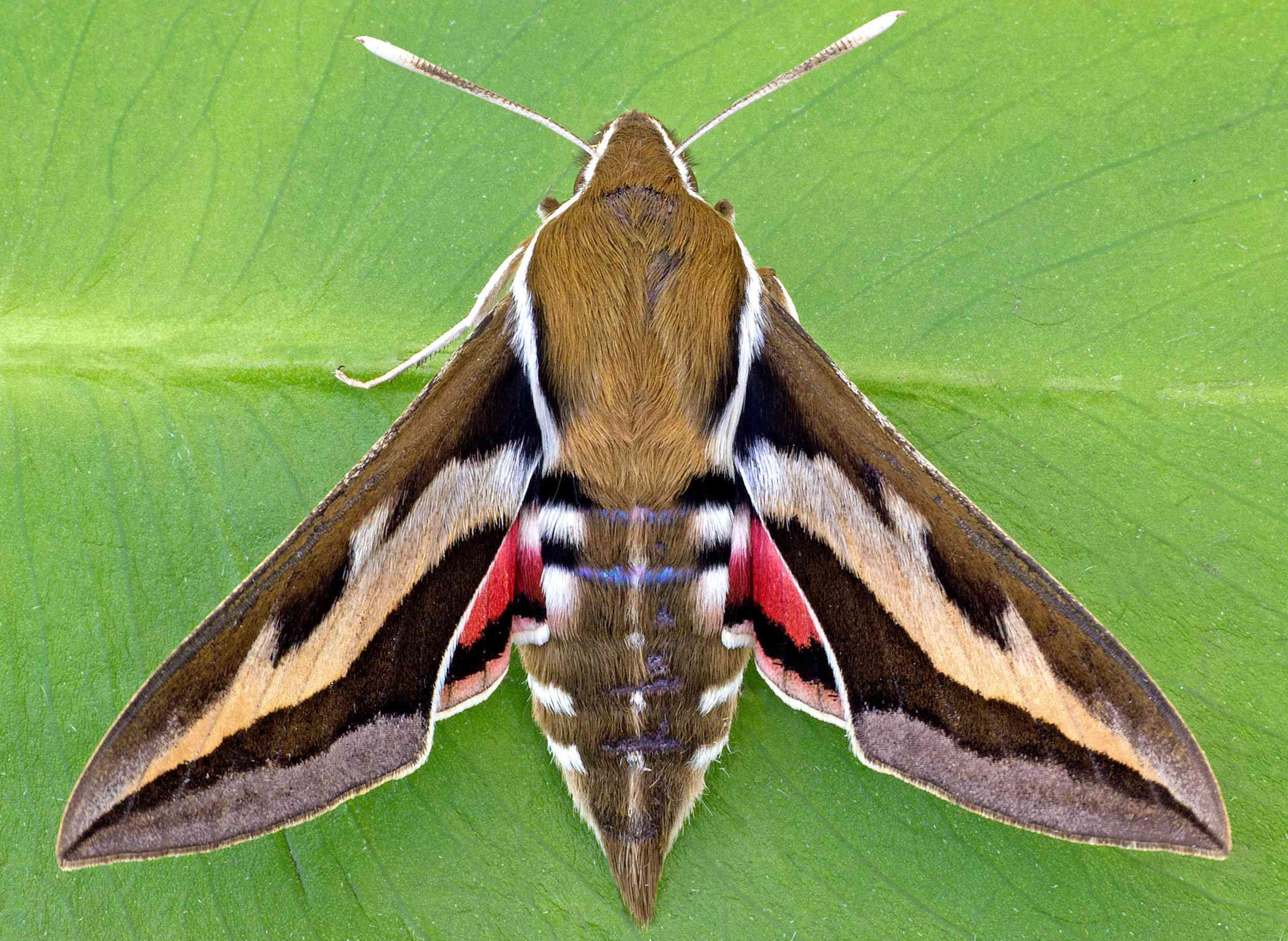 A brown and white moth sits on a leaf