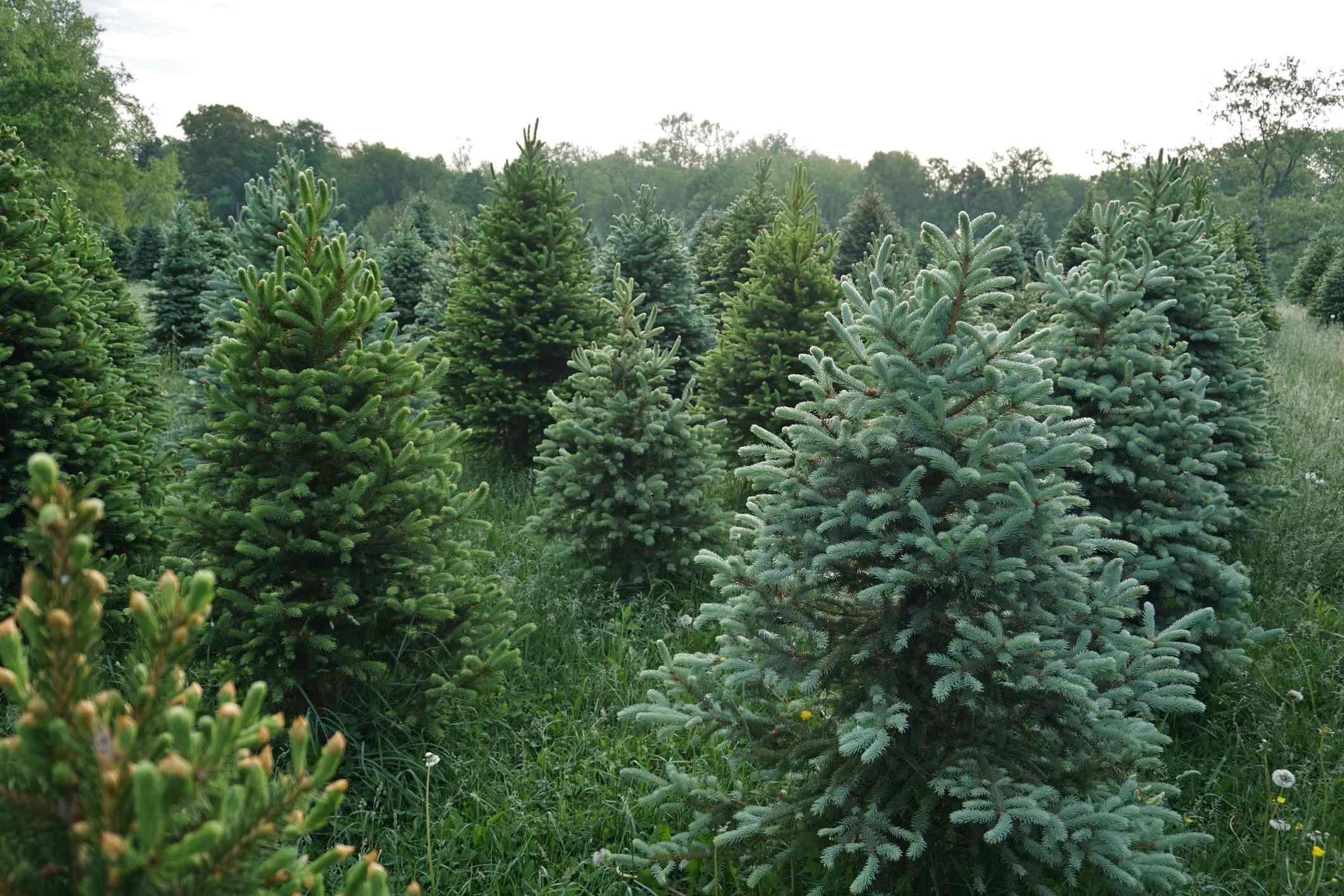 A Christmas tree farm with fir trees.