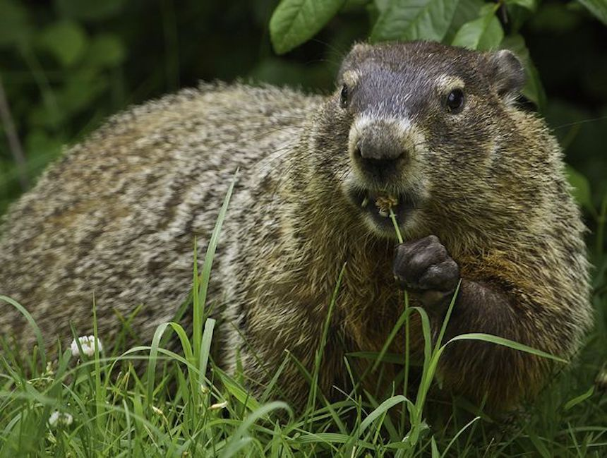 A brown groundhog standing in a grassy field