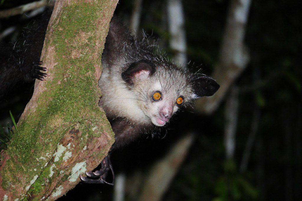 Aye-aye in a tree at night