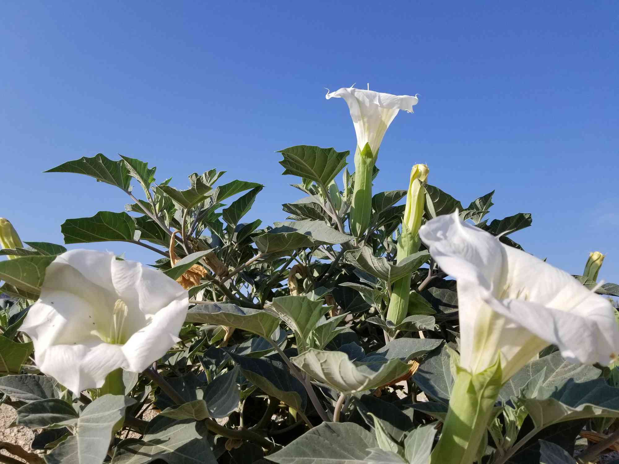 white Jimsonweed blooming in the desert