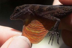 A water anole with a colorful dewlap.