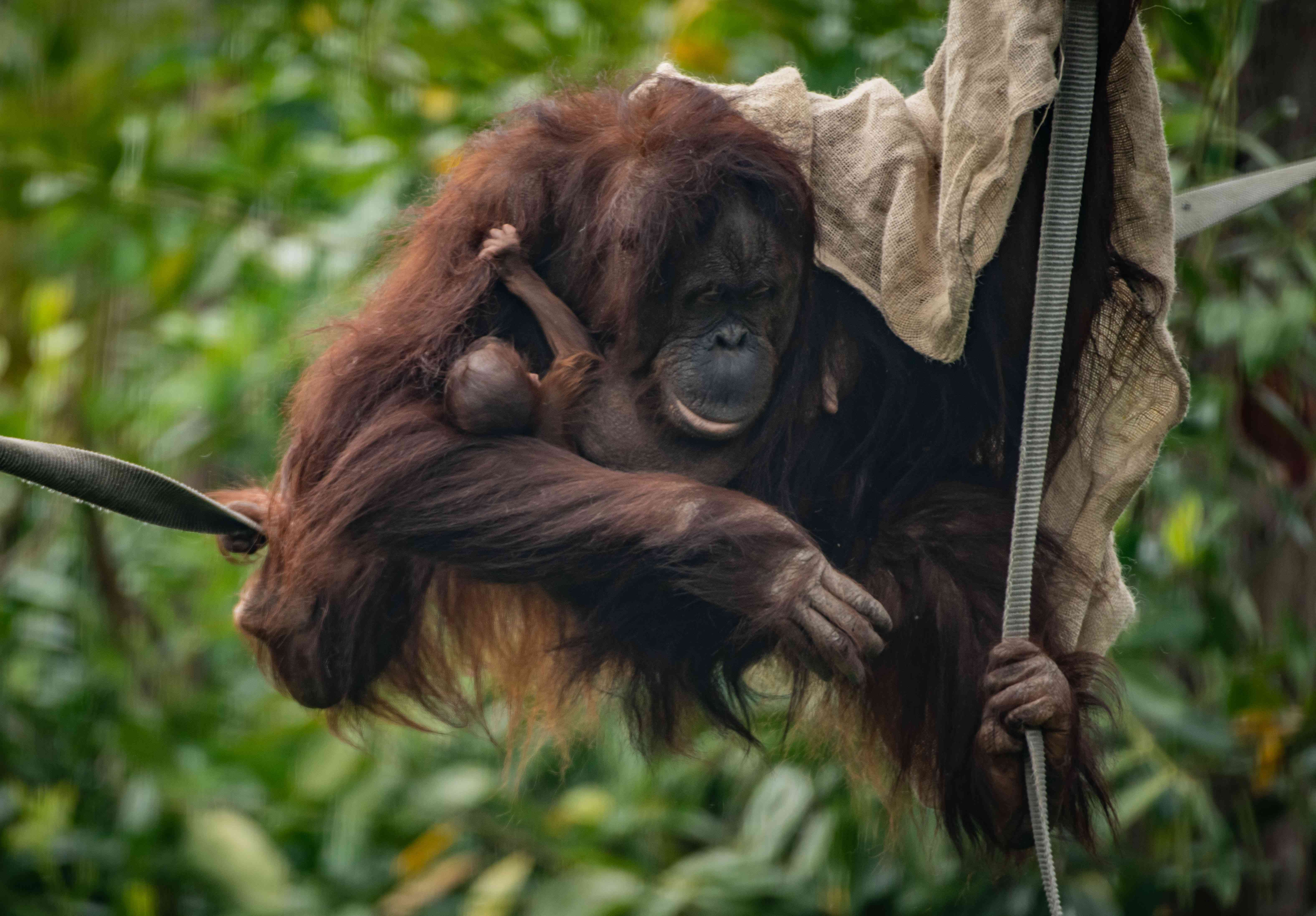 Mother orangutan and baby at Chester Zoo