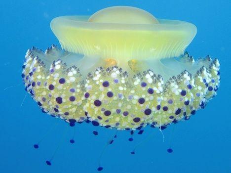 upside-down jellyfish photo