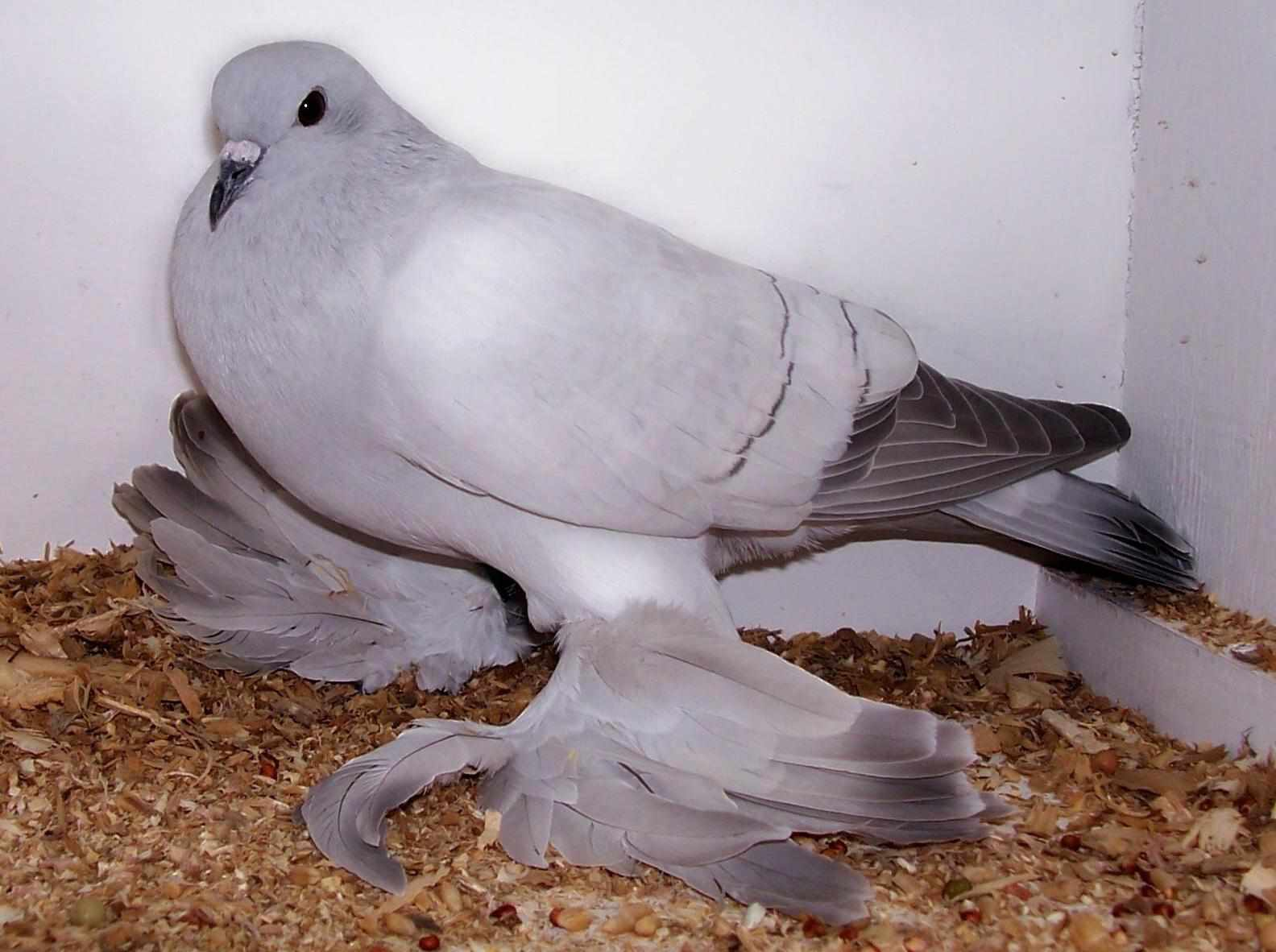 Ice pigeon standing to the side on sawdust