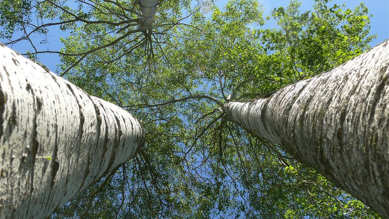 Two towering trees as seen from looking up at the sky