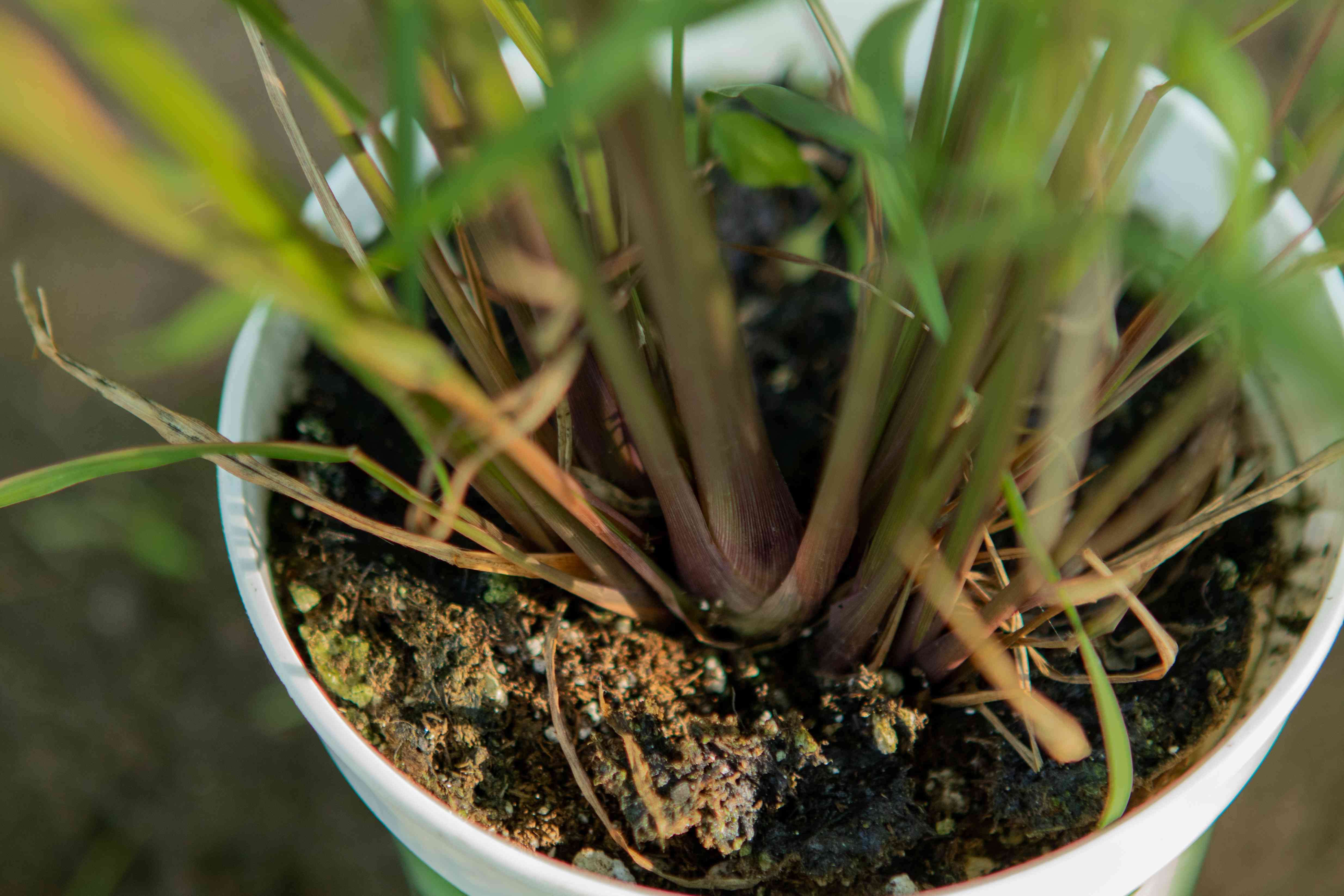 close view of lemongrass plant in soil in white container