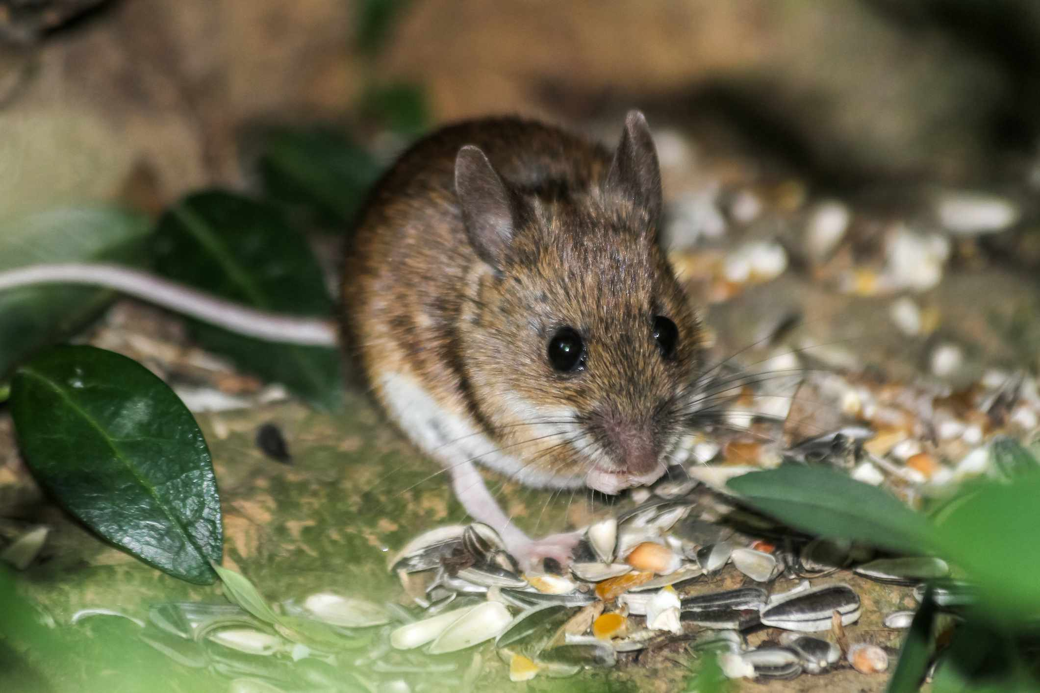 House mouse (Mus musculus) feeding in the forest, Sonian Forest, Brussels, Belgium